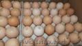 Яйца инкубационные Венгрия Польша Чехия  бройлер и др породы