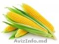 Семена кукурузы высокого качества. Лучшие цены в Приднестровье!